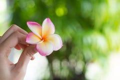 Ein Mädchen, das eine Frangipaniblume hält Stockfotografie