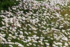 Ein Meer von Gänseblümchen Stockbilder