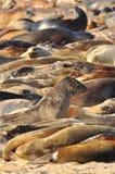 Ein Meer von Seelöwen auf den Galapagos-Inseln stockfoto