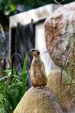 Ein meerkat Stand lizenzfreie stockbilder