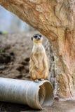 Ein meerkat Stand 3 lizenzfreie stockfotografie