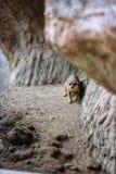 Ein meerkat Verstecken lizenzfreies stockfoto
