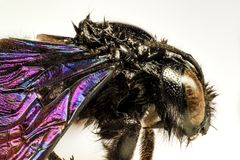 Ein Mikrograph einer schwarzen Hummel Lizenzfreies Stockbild