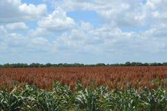 Ein Milosorghumfeld auf einem Süd-Texas-Bauernhof Stockfotografie