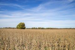 Ein Missouri-Bauernhoffeld von Sojabohnen lizenzfreies stockbild