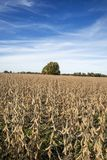 Ein Missouri-Bauernhoffeld von Sojabohnen stockfoto