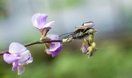 Ein mit Beinen versehener Käfer des Blattes auf einer purpurroten Blume lizenzfreies stockfoto