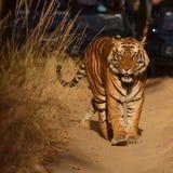 Ein männlicher Bengal-Tiger, der entlang einen Waldweg geht Lizenzfreie Stockfotografie