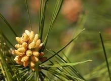 Kiefern-Blütenstaub-Kegel Lizenzfreie Stockbilder