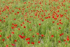Ein Mohnblumenfeld stockbild