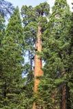 Ein Monarch-Mammutbaumbaum an riesigem Waldmuseum trailhead, USA Stockbild