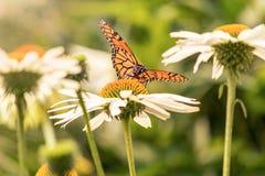 Ein Monarchfalter auf einem Blumengebiet stockfotografie