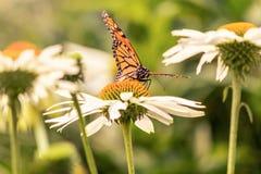 Ein Monarchfalter bereit zu fliegen lizenzfreies stockbild