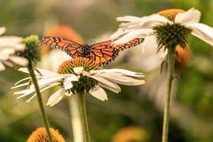 Ein Monarchfalter in Blumen mit ausgedehnten Flügeln stockfotos