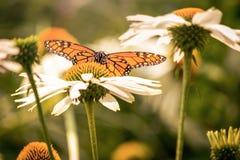 Ein Monarchfalter und Blumen des weißen Gänseblümchens stockfotografie