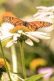 Ein Monarchfalterporträt auf einem Blumengebiet lizenzfreies stockfoto