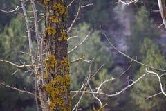 Ein moosbedeckter Stamm einer wilden Birne stockfotografie
