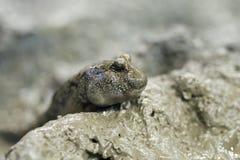 Ein mudskipper (Periophthalmus) Lizenzfreies Stockfoto