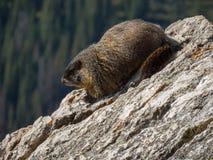 Ein Murmeltier sitzen auf einem Felsen auf der Wasserscheide in Colorado Stockfotografie