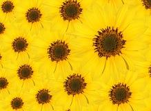 Ein Muster entwickelt von den Sonneblumen Lizenzfreie Stockfotos