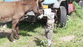 Ein mutiges kleines Mädchen zieht einen großen Esel auf dem Bauernhof ein stock footage