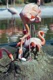 Ein Mutter-Flamingo neigt ihr großes Ei Lizenzfreies Stockfoto