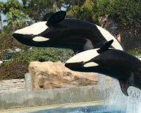 Ein Mutter-und Kalb-Schwertwal Backflip lizenzfreies stockfoto