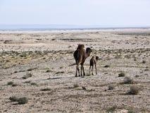 Ein Mutterkamel mit ihrem Schätzchen in einer Wüste, Stockbild