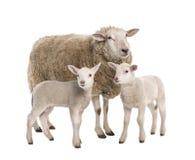 Ein Mutterschaf mit ihren zwei Lämmern Lizenzfreie Stockfotos
