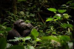 Ein nachdenklicher Schimpanse in Uganda lizenzfreies stockbild
