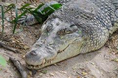 Ein Nahaufnahmefoto eines Krokodils Lizenzfreie Stockbilder
