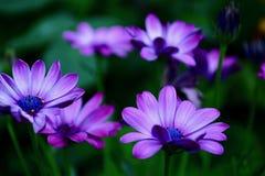 Ein Nahaufnahmefoto eines schönen afrikanischen Gänseblümchens oder südafrikanisches Gänseblümchen oder Kapgänseblümchen oder Kap stockfotos