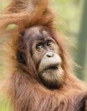 Ein nahes Porträt eines jungen Orang-Utans Lizenzfreie Stockfotos