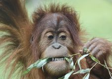 Ein nahes Porträt eines jungen Orang-Utans, der Blätter isst Stockbilder