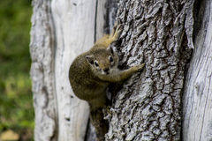 Ein namibisches Eichhörnchen Stockbilder