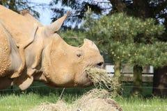 Ein Nashorn Stockfoto