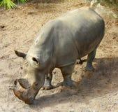 Ein Nashorn aus den Grund Lizenzfreie Stockfotos