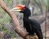 Ein Nashorn Hornbill lizenzfreies stockfoto