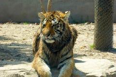 Ein nasser Nordost-China-Tiger, der aus den Grund und das Stillstehen liegt Lizenzfreie Stockfotos