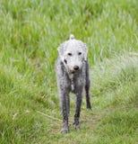 Ein nasses Bedlington Terrier steht auf einem Gebiet lizenzfreie stockfotografie