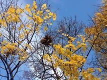 Ein Nest auf einem Acer-Baum mit gelbem Laves im Fall Stockfotos