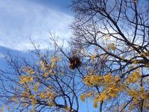 Ein Nest auf einem Acer-Baum mit gelbem Laves im Fall Stockbilder