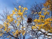 Ein Nest auf einem Acer-Baum mit gelbem Laves im Fall Lizenzfreie Stockfotografie
