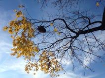 Ein Nest auf einem Acer-Baum mit gelbem Laves im Fall Stockbild