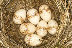 Ein Nest mit 7 Eiern red- unterstütztem shrike Stockbild