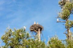 Ein Nest von gefährdeten jungen hölzernen Störchen stockfotografie