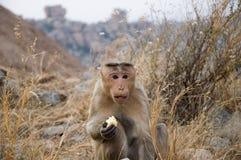 Ein netter überraschter Affe isst Apple und Blicke an Ihnen stockfoto