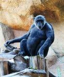 Ein netter aufgewachsener Affe, der auf einem Stumpf sitzt Stockbilder