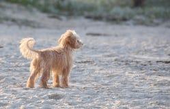 Ein netter entzückender kleiner schäbiger Hund alleine auf Strand Stockbild