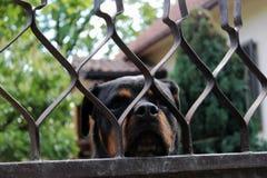 Ein netter Hund, der durch den Gitterzaun anstarrt stockbild